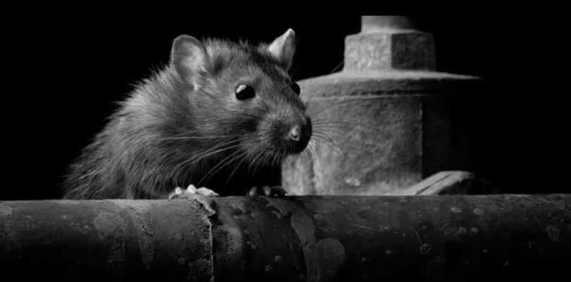 Akut bekæmpelse af rotter