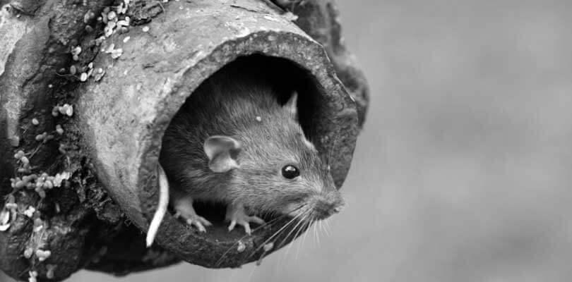 Forebyggelse af rotter med rottespærre